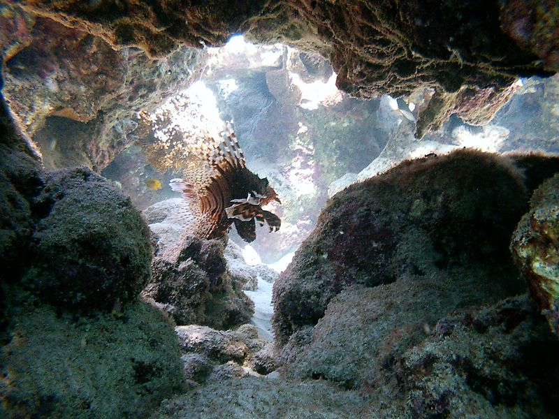 """t) Lionfish on the prowl. I eventually gave away my pet Lionfishes to the San Diego Scripps aquarium because they simply ate too may goldfish. They grew quite large and were eating about 10 a day which cost me 35 US dollars a month. <br />  There are warnings about stepping on the """"deadly"""" lionfish when snorkeling. It can inject venom which is a neurotoxin with a sting from its spines that causes severe local pain, numbness, paralysis, respiratory illness, and only in rare cases, death.<br />  No one stepped on a lionfish, but Jess stepped on a sea urchin which was quite painful."""