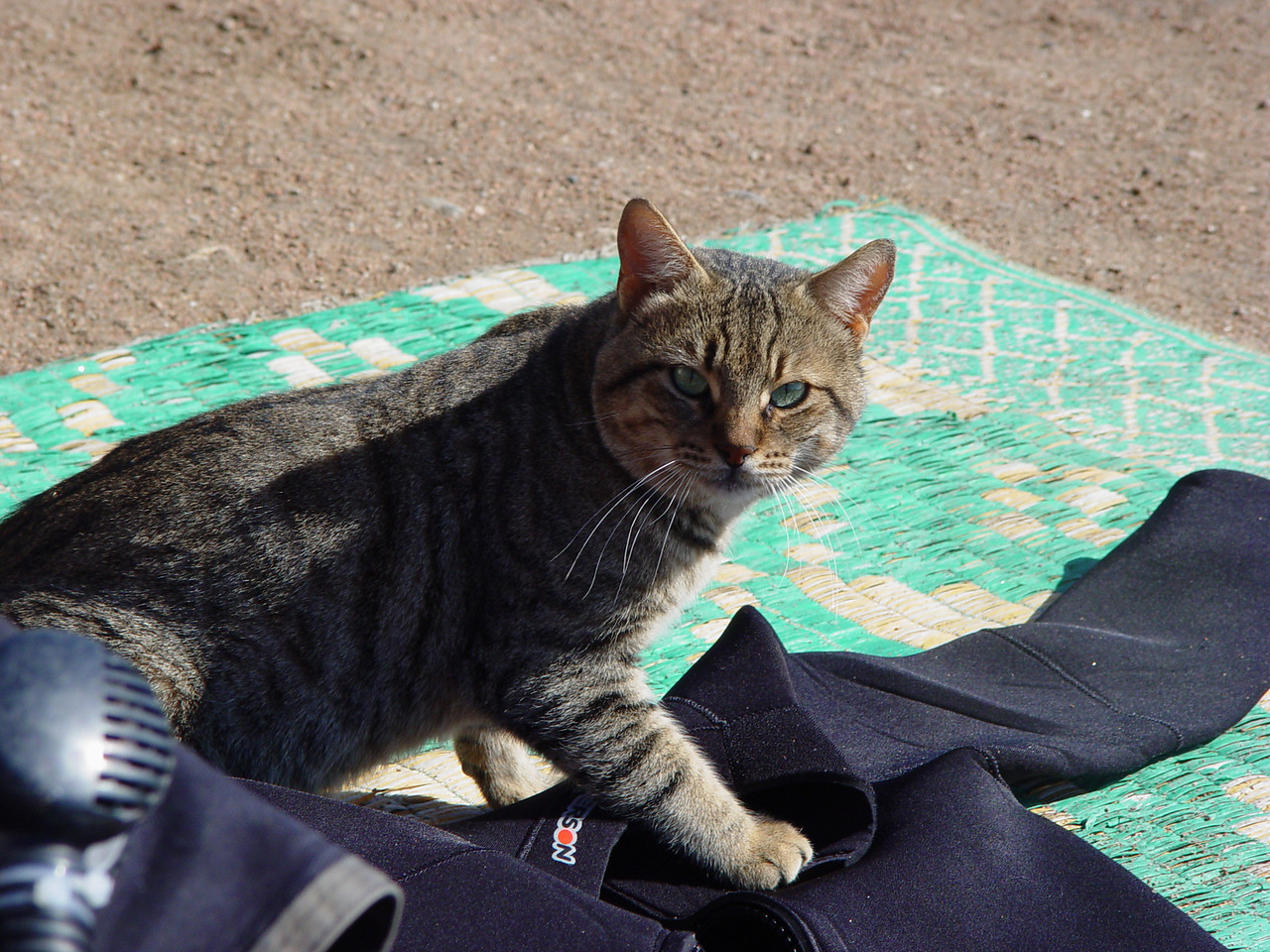 h1) Dahab cat checking out my wetsuit laid out to dry. <br /> Back off Kitty Kat! I don't care if you're worshipped in Egypt. Get those paws off my beloved Henderson Titanium Hyperstretch suit.