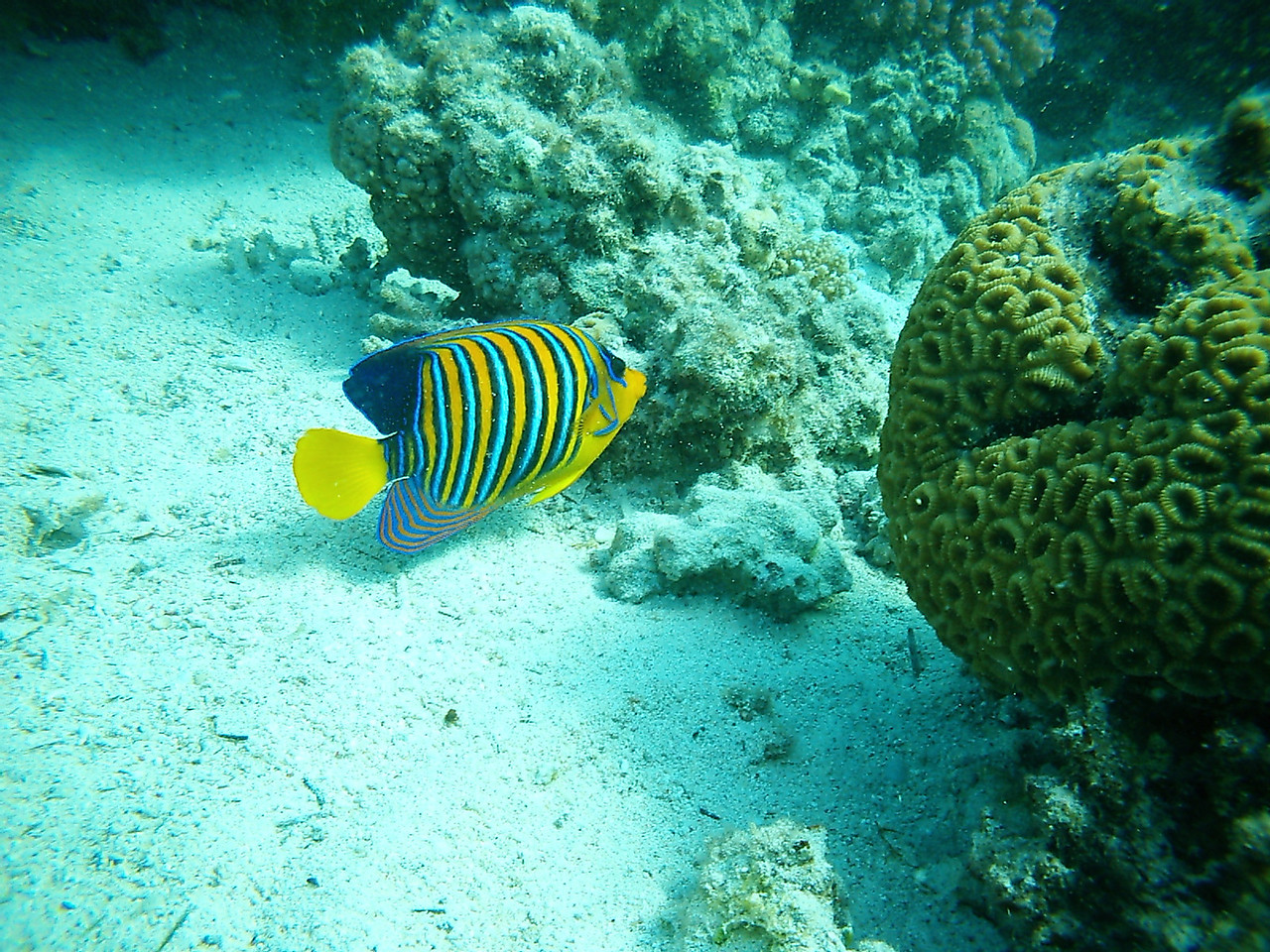 v) I believe this is a Royal angelfish