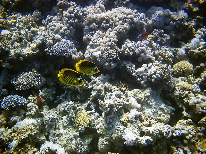 i) A couple of racoon butterfly fish. These guys always travel in pairs.