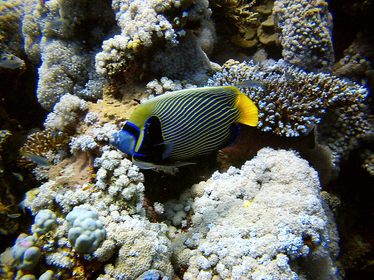 w) An Emperor Angelfish