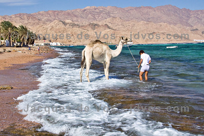 Leading A Camel To Water...  Assalah beach, Dahab - Egypt
