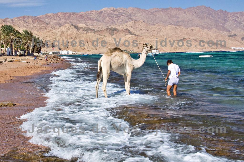 Leading A Camel To Water...<br /> <br /> Assalah beach, Dahab - Egypt