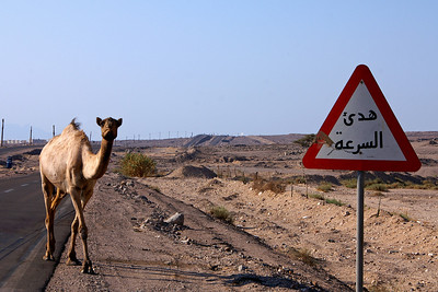 Wild camel on the road