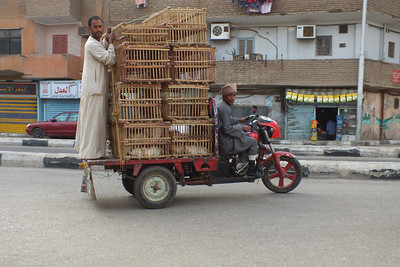 How to buy chickens in Luxor