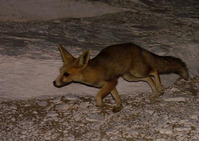 A little desert fox - cute!