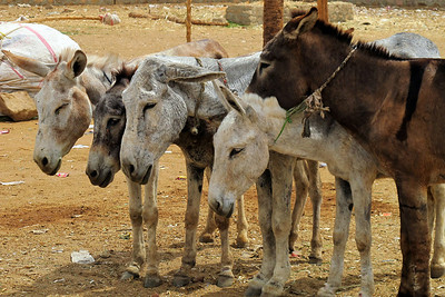 At the camel market in Daraw