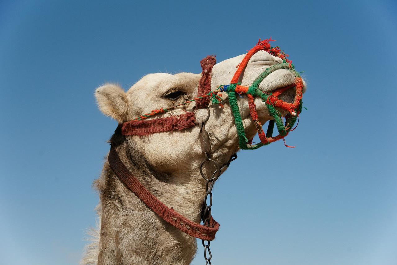 Camel Closeup