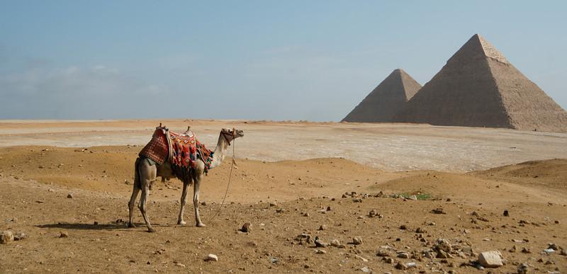Camel at Pyramids