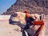 Egypt - Cairo - pyramids - camel