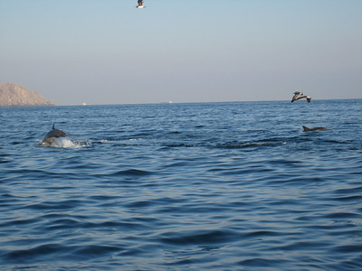Dolphins chasing tuna in Muscat Harbour.