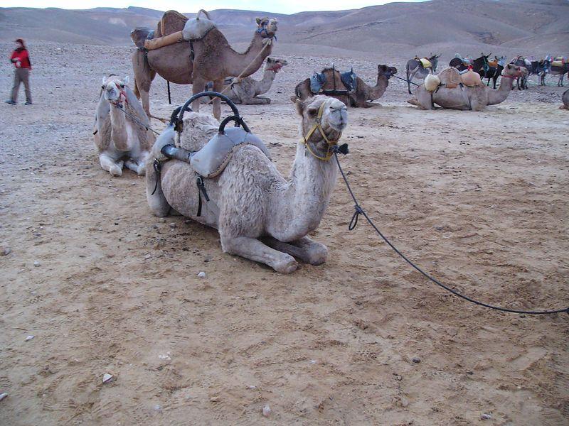 Bedouin camp - Camel