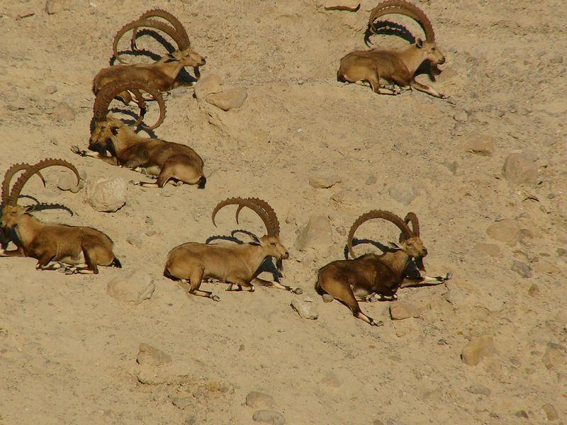 Ein Gedi - Ibex across the valley
