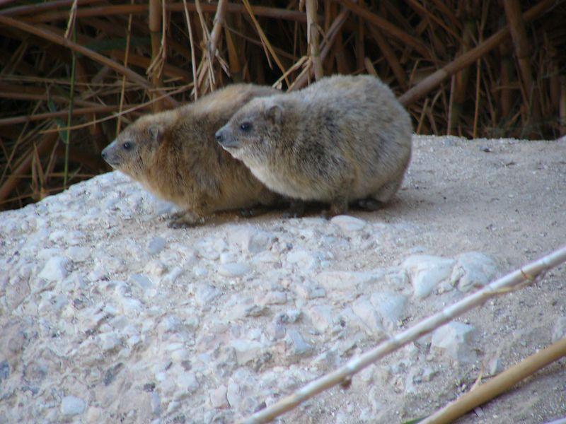 Ein Gedi Rock Rabbits (hyrax)