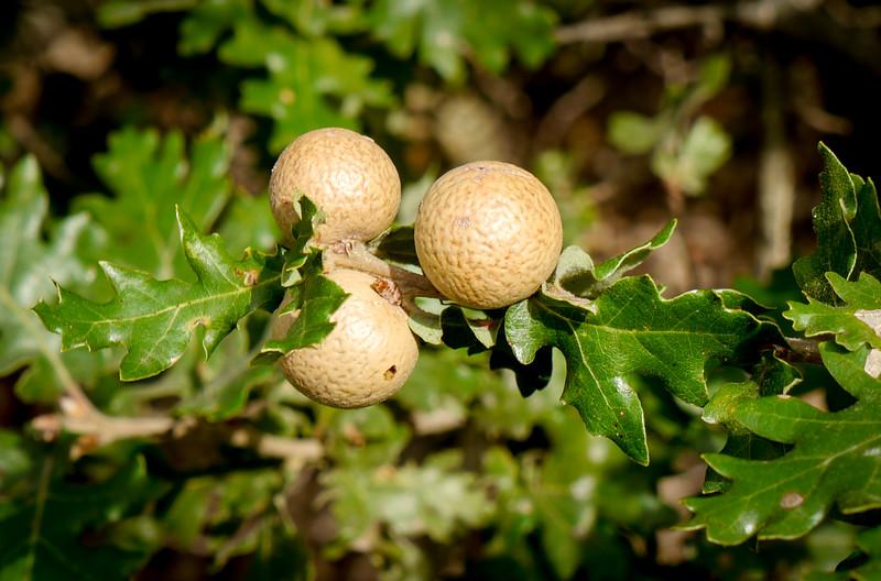 Oak apples Gorge du Verdon
