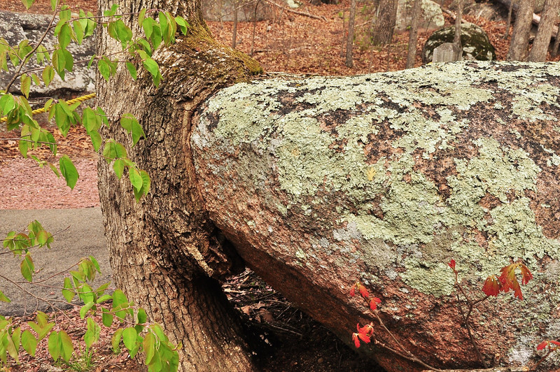 White Oak swallowing granite boulder