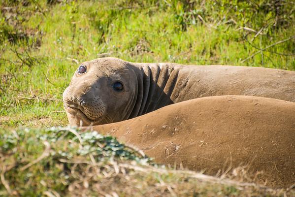 Elephant Seals at Ano Nuevo Game Preserve