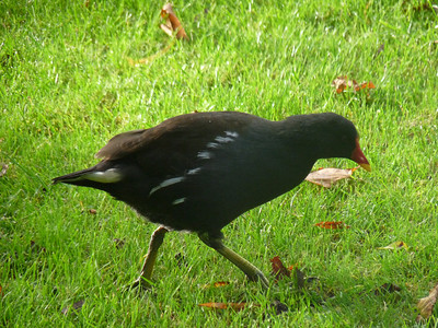Common Moorhen