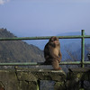 There are lots of monkeys at Mt. Emei. Most look much angrier than this one.