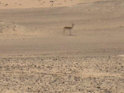 Arabian Oryx.  Fantastic to see.