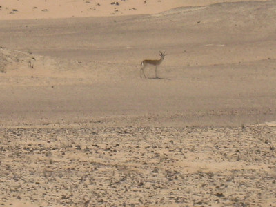 Arabian Oryx.  Fantastic to see.