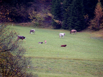 just like in a swiss miss commercial... brown cows grazing on the hillside, complete with little cow bells.