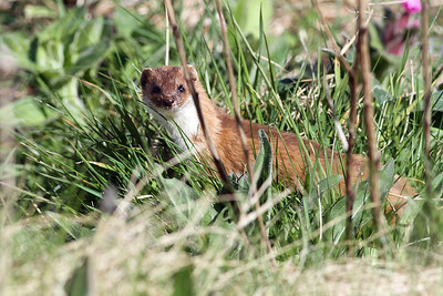 Wezel/Weasel