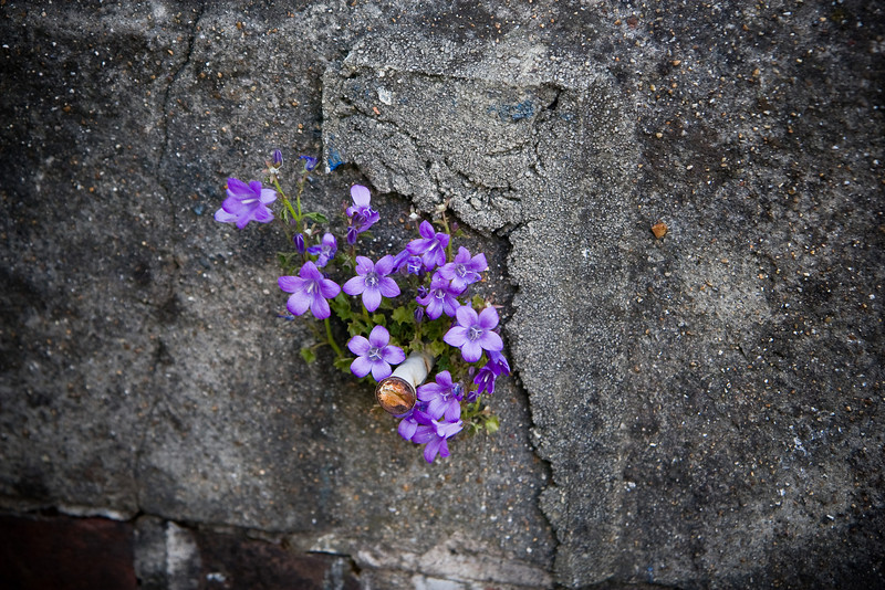The most gorgeous little flowers were growing out of cracks in the walls all through the neighborhood where the daughter was staying while student teaching.
