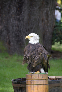 Warwick has a few birds of prey as part of their shows.  Here's a bald eagle.