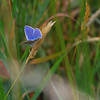 """Grass seedhead with a lovely """"Common Blue"""" butterfly atop it."""
