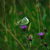 """Common knapweed flower with an interesting butterfly atop it. (Green veined White""""?)"""