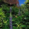 Spikes of Lupine in garden at Great Dixter.