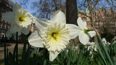 More Bloomsbury daffodils.