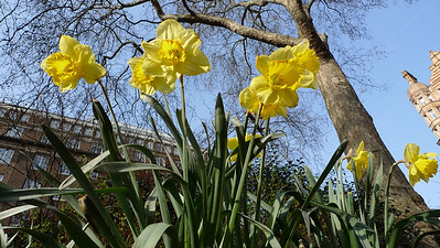 These are Bloomsbury daffodils.