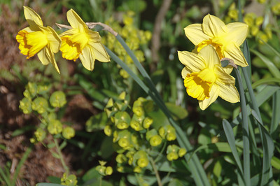 Hampstead daffodils