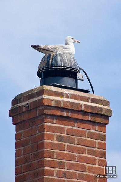 Resting gull at Portloe
