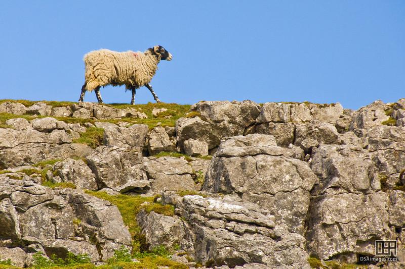 Sheep, Yorkshire Dales