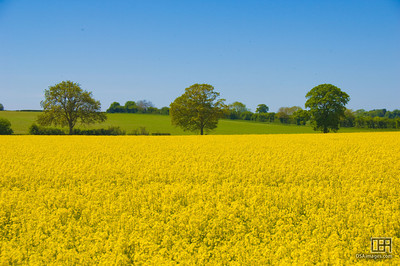 Three trees in a golden field