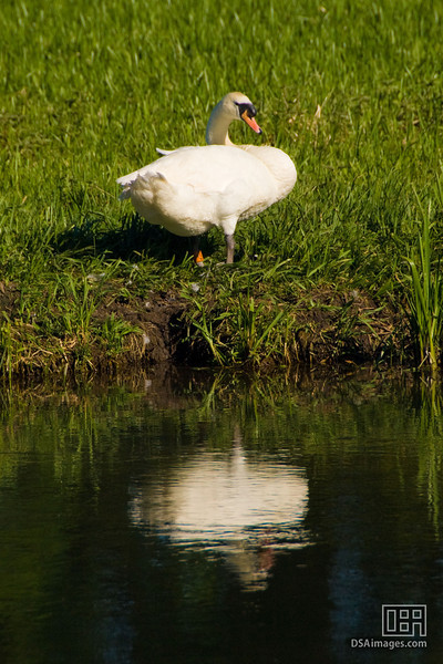 Swan at Upper Woodford