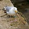Gull at Porthleven