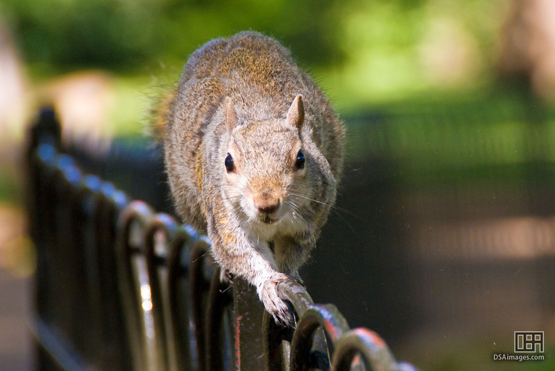 Squirrel in St. James's Park
