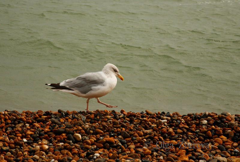 <p>Herring Gull, Hastings, England, United Kingdom</p>