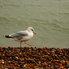 <p>Herring Gull, Hastings, England, United Kingdom</p>