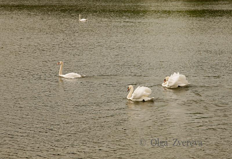 <p>Swans, Leeds Castle, England, United Kingdom</p>
