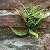 A small but tenuous fern.