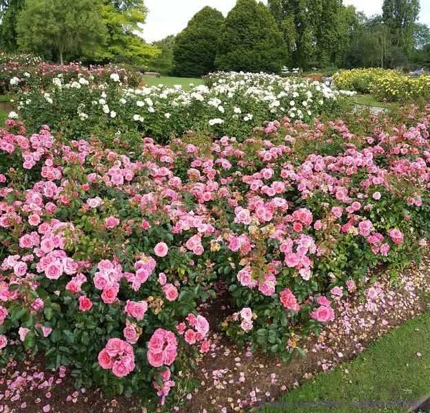 Queen Mary's Gardens in Regent's Park
