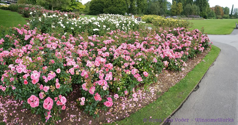 Roses in Queen Mary's Gardens - Regent's Park - Camden, London