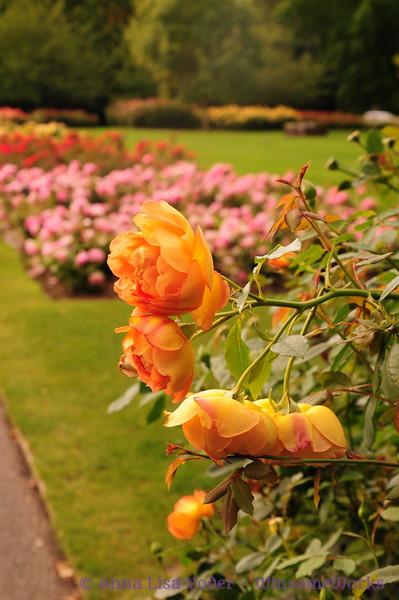 Roses in Queen Mary's Gardens in Regent's Park