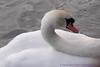 Swan in Regent's Park