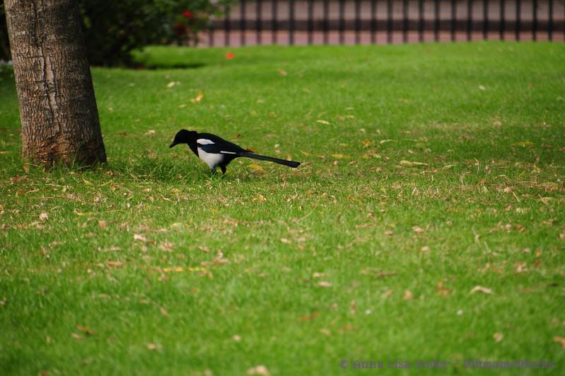 Magpie  in Regent's Park - Camden, London
